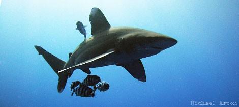 CITES skriver historia med skydd för hajar och mantor