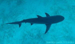 Bahamas vatten nu fristad för hajar