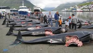Döda grindvalar på kajen i Klaksvik