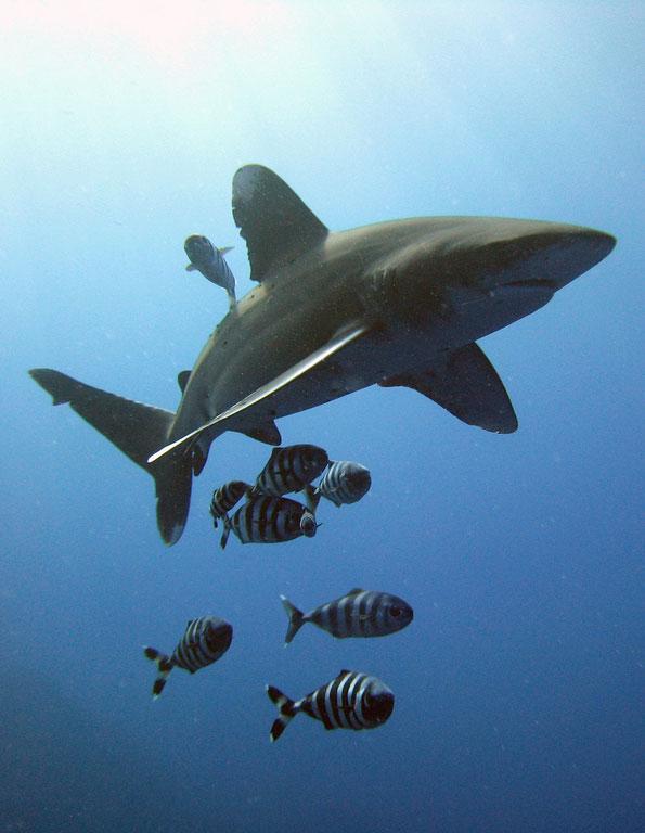 Årfenshajen simmar numera lite säkrare i havet. (Foto: Michael Aston/Flickr)